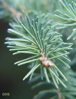 closeup of pinophyte needles