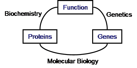 Schematic relationship between biochemistry, genetics and molecular biology