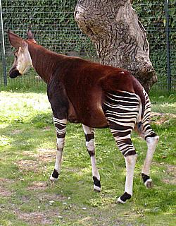 Okapi at Bristol Zoo, England