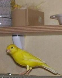 Male canary and breeding female