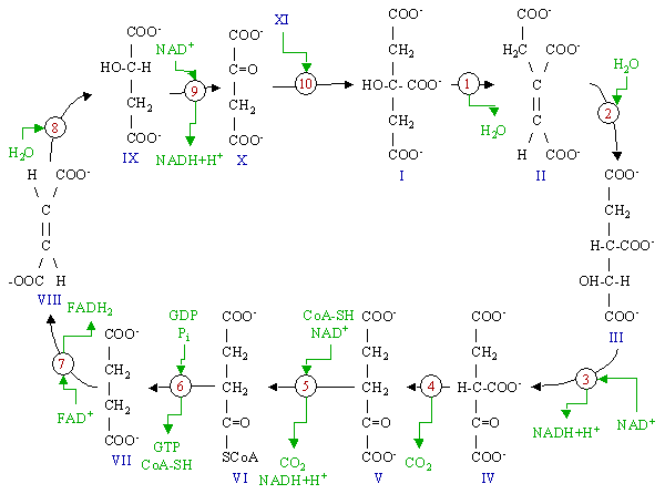 Figure 1 : Schematic drawing of the citric acid cycle.