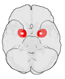 Location of the amygdala in the human brain