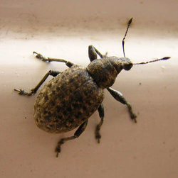 A weevil
