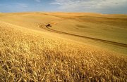 Wheat harvest on the Palouse.