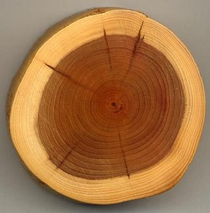 A section of a  branch showing 27 annual growth rings, pale sapwood and dark heartwood, and  (centre dark spot). The dark radial lines are small knots.