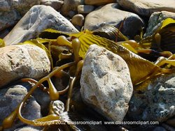 Seaweed found along the Southern California Coast. Photo provided by Classroom Clip Art (http://classroomclipart.com)