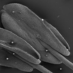 Scanning electron microscope image of Penta lanceolata anthers, with pollen grains on surface