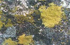 Crustose and foliose lichens on a wall
