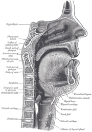 Sagittal section of nose mouth, pharynx, and larynx.