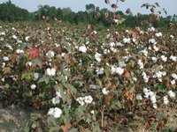 Gossypium hirsutumMature cotton almost ready to pick