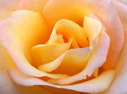 Yellow rose: symbolising dying love