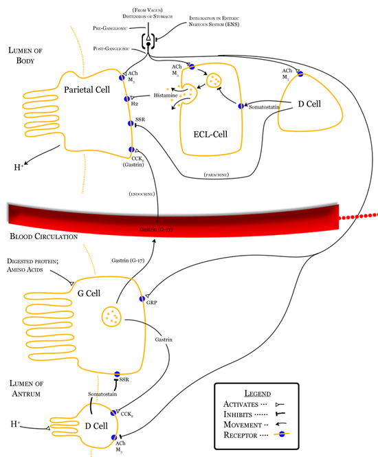 Diagram summarising control of stomach acid secretion, emphasising interaction between the body and antrum.