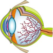 Color Cross Section Illustration of the Human Eye courtesy of Classroom Clip Art (http://classroomclipart.com)